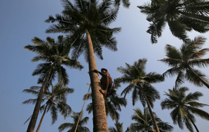 climbs Pheonix palm trees every day to make ends meet for her and her family.
