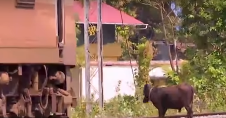 The loco pilot of the train is seen halting the moving train, coming out and then shooing the two cows off the railway tracks.