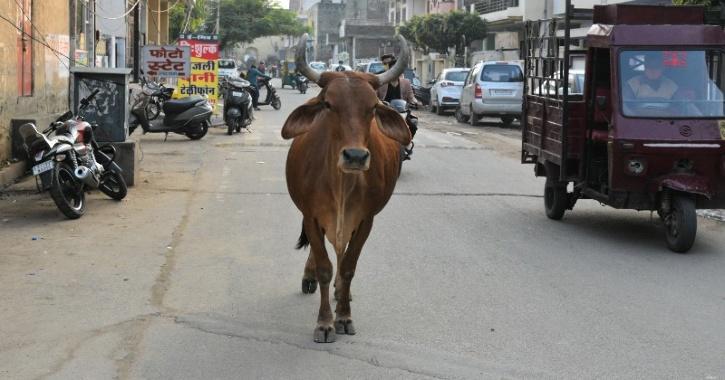cow indian economy