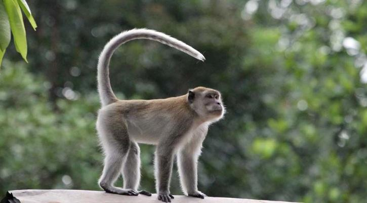 a long tailed primate
