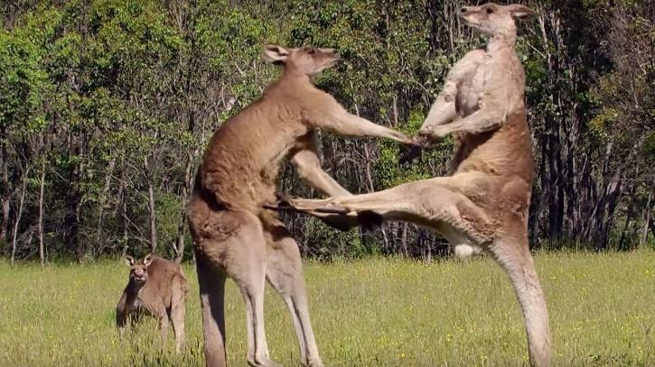 Man Stumbles Across Absolutely Jacked Kangaroo While On Bushwalk