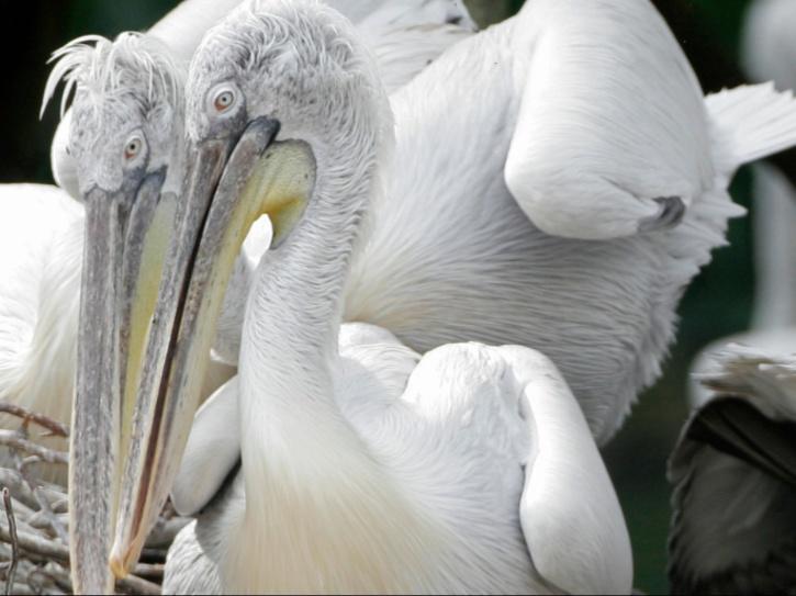pelicans-dead-6012806c50b70