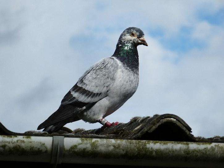 Experts suspect the pigeon that Celli-Bird has named Joe, after the U.S. president-elect, hitched a ride on a cargo ship to cross the Pacific.
