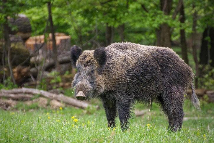 wild-boar-6011476887adb