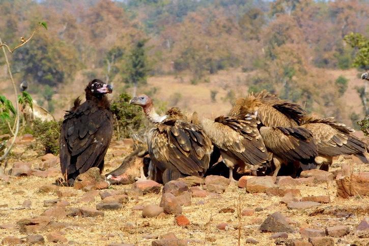 Cinereous vulture, Himalayan and Eurasian griffon feeding on a carcass