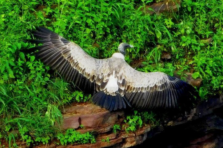 Long-billed vulture