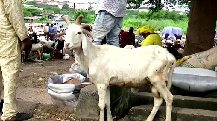 five-horned ram on display