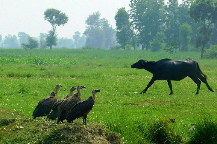 White-rumped vulture seen outside a village.