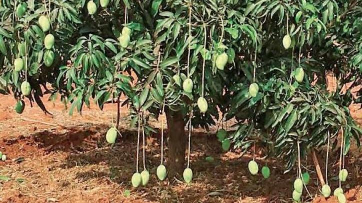 different mangoes on the tree
