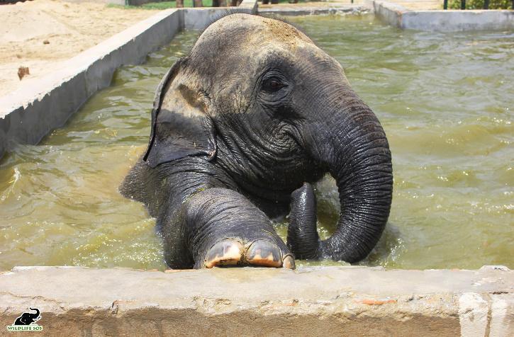 Wildlife SOS Elephant