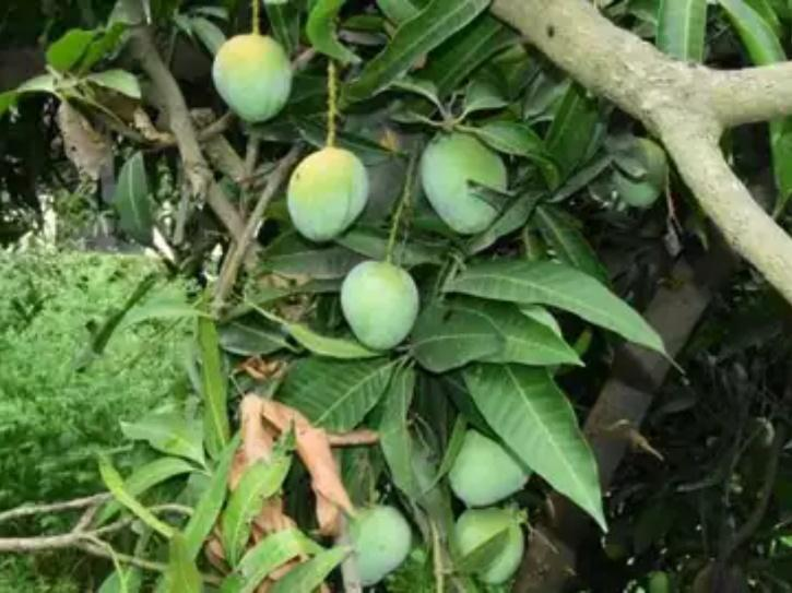 a mango tree in UP