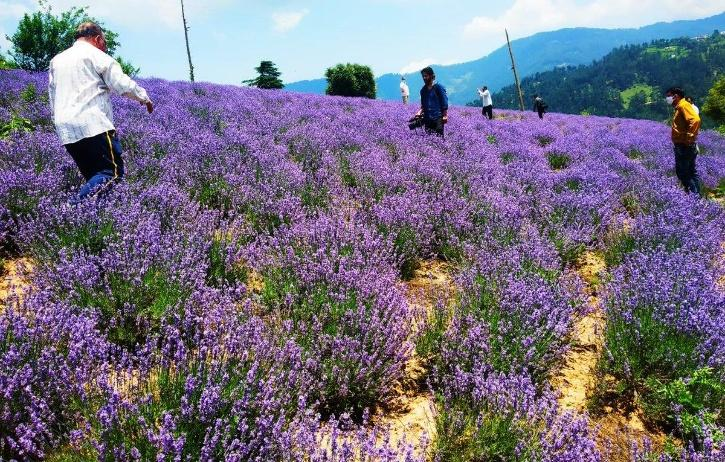 lavender farming kashmir