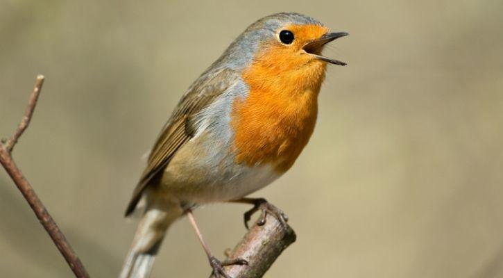 songbird communication humans