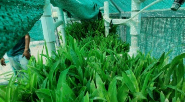indian farming hydroponics