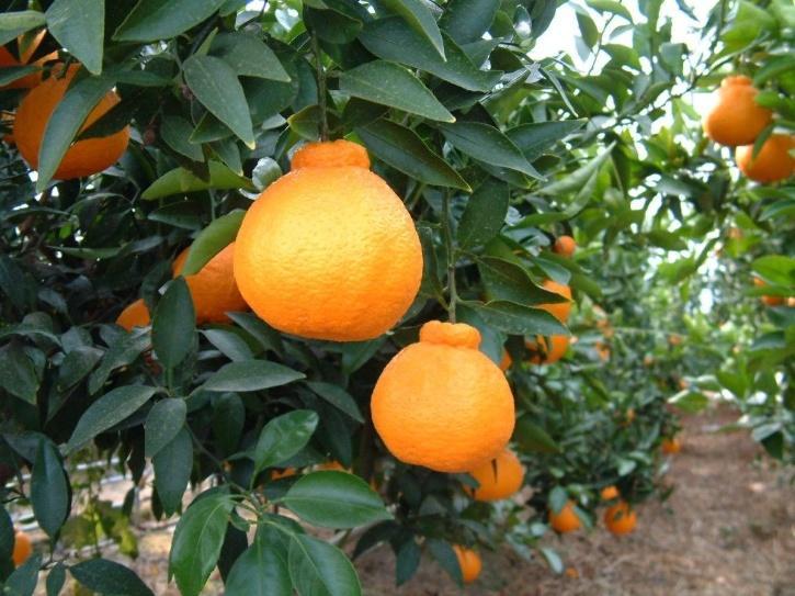 Dekopon Orange