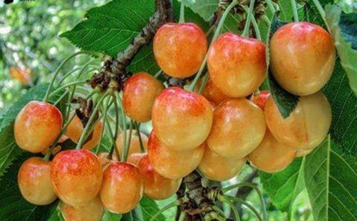 Cherry Grower In Kashmir