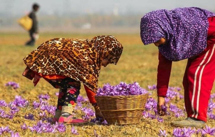 Kashmir Saffron Production