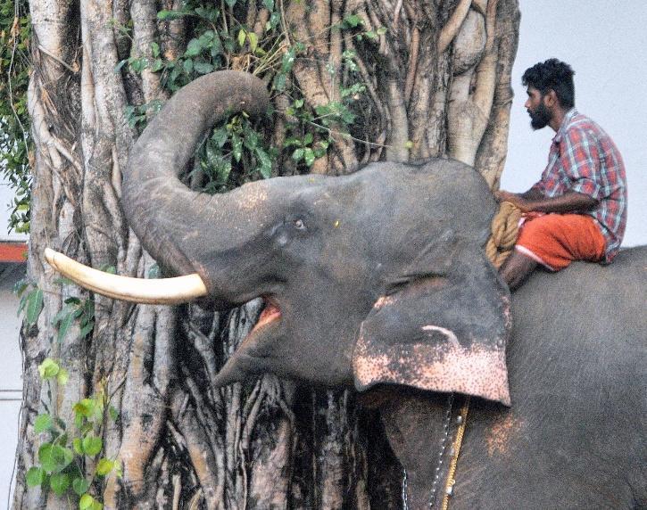 Kerala Elephant