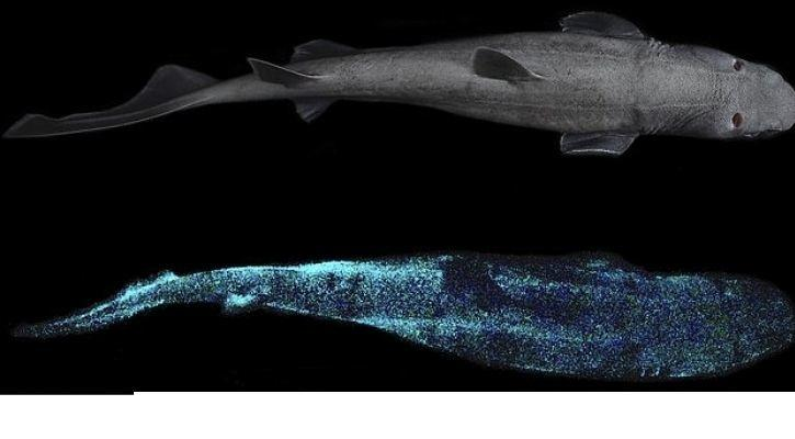 bioluminescent shark glow