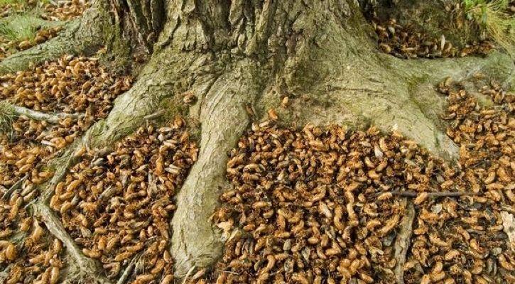 cicada swarms