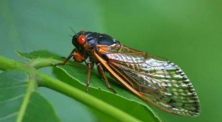 cicada hibernation pattern