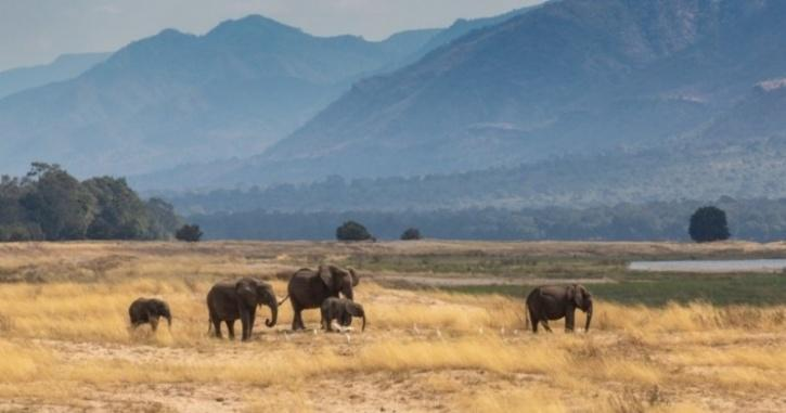 African elephants roaming in the wild