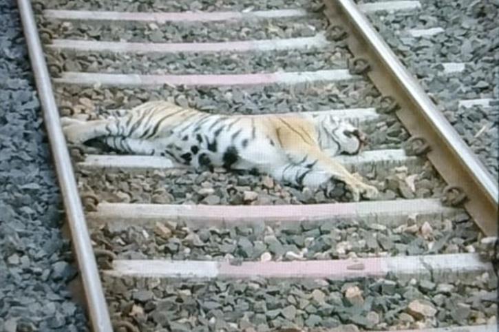 Tiger Ran Over By Train Inside Maharashtra