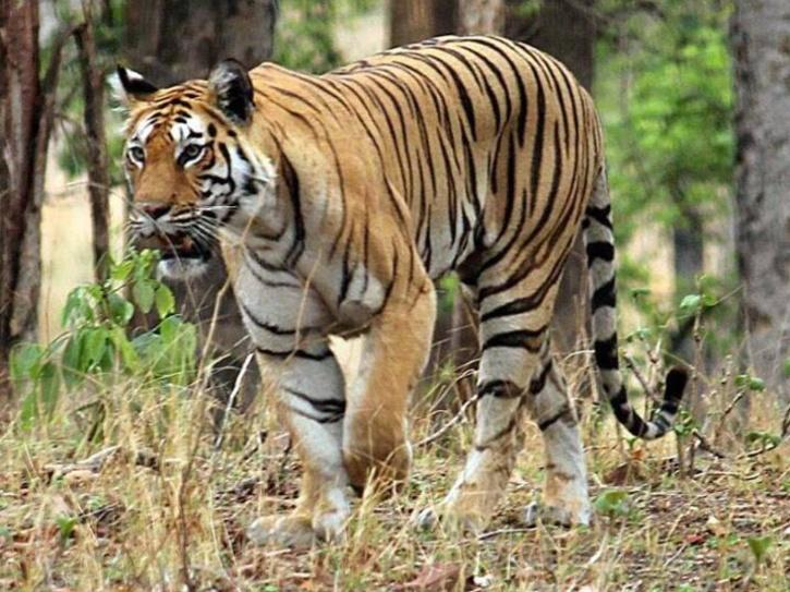 Kodagu Tiger Attack