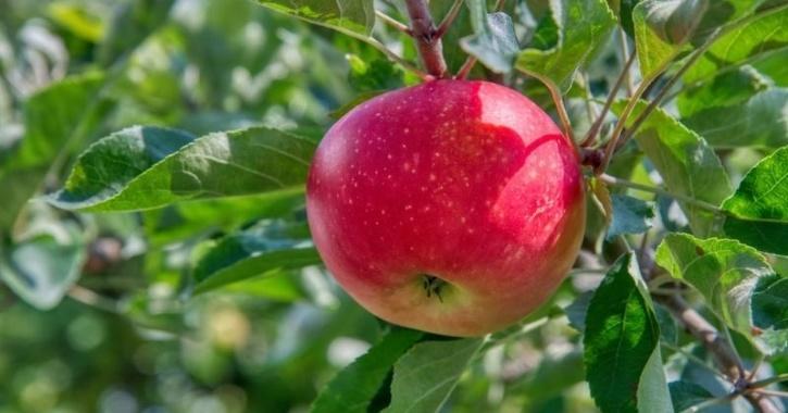 Apple originated in kazakhstan
