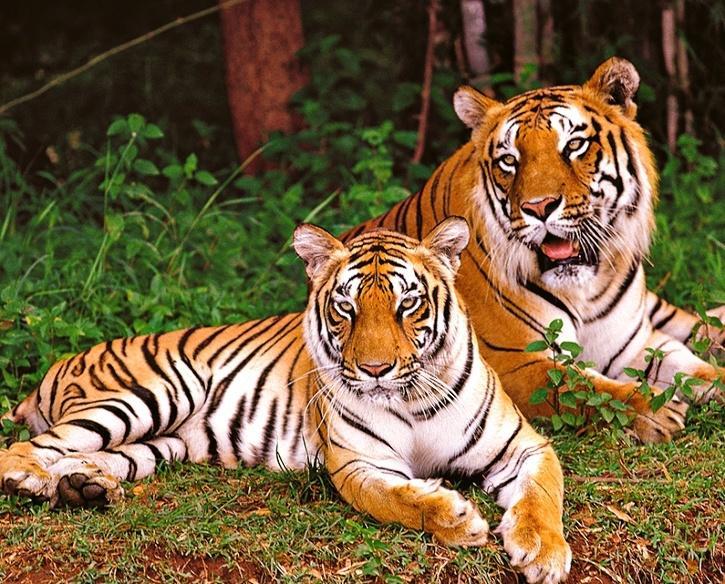nagarhole national park tigers
