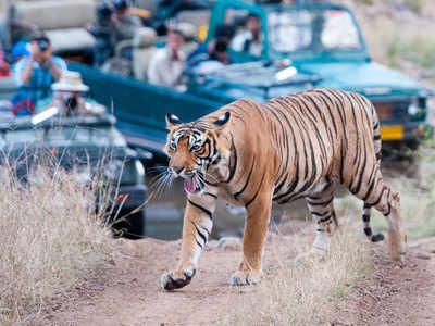 Tiger safari with tourists in cars