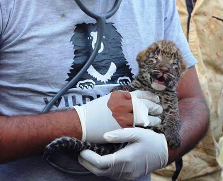 Newborn Leopard Cubs