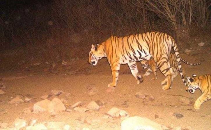Rescued Cub Of Tigress Avni