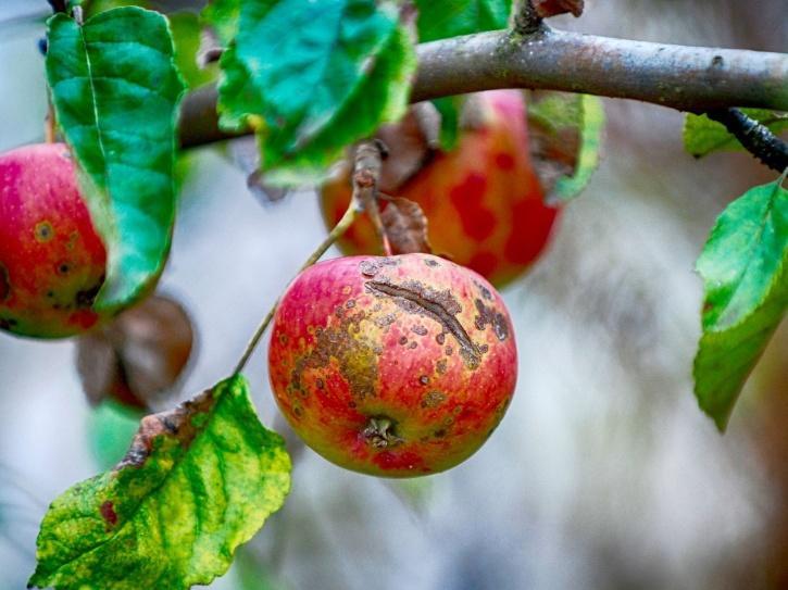 apple-scab