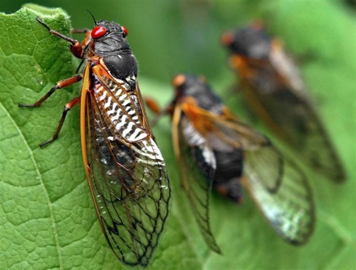 cicada invasion us 2021