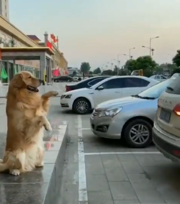 A dog video is going massively viral on social media as it shows a Golden Retriever assisting a car driver to safely park the car. The clip was shared on Twitter and so far has garnered more than 70,000 Retweets and over 3,000 Quote Tweets.