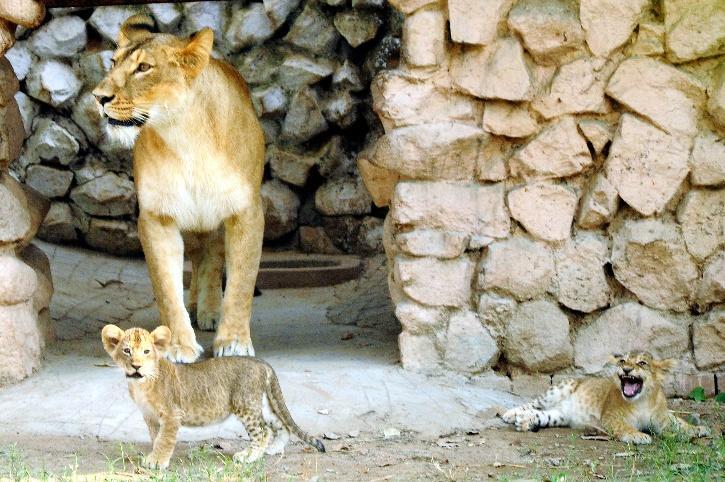 lioness-609646865d799