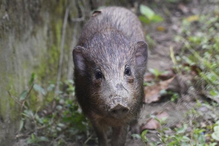 First discovered in 1859, the pygmy hogs population dwindled in the following decades.