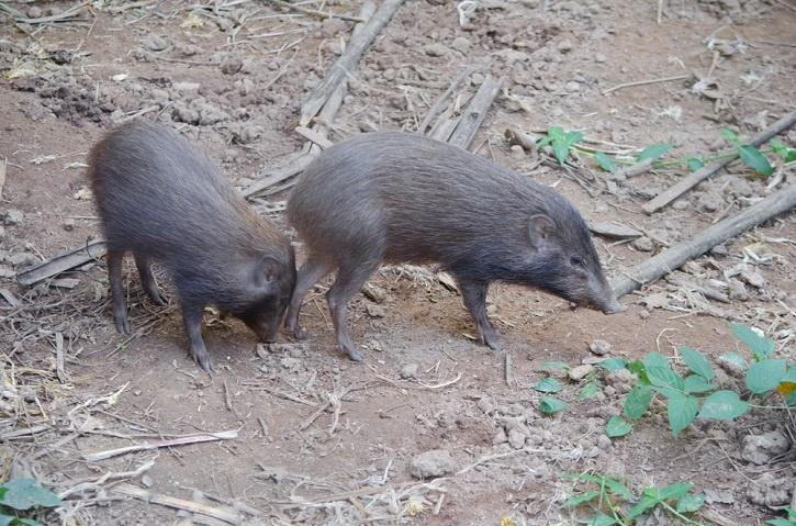 A sufficient number of pygmy pigs were released in the Manas and Orang National Parks. Some were also released in Barandi and Sonai Rupai National Sanctuaries in Assam.