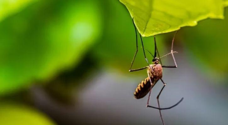 mosquito in the wild