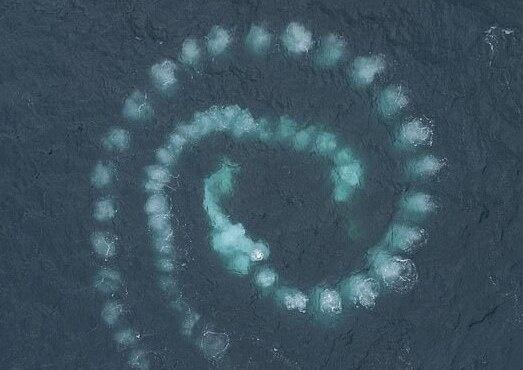 The whales were using a technique called bubble-net feeding where the krill become trapped near the surface of the water in a net of air bubbles