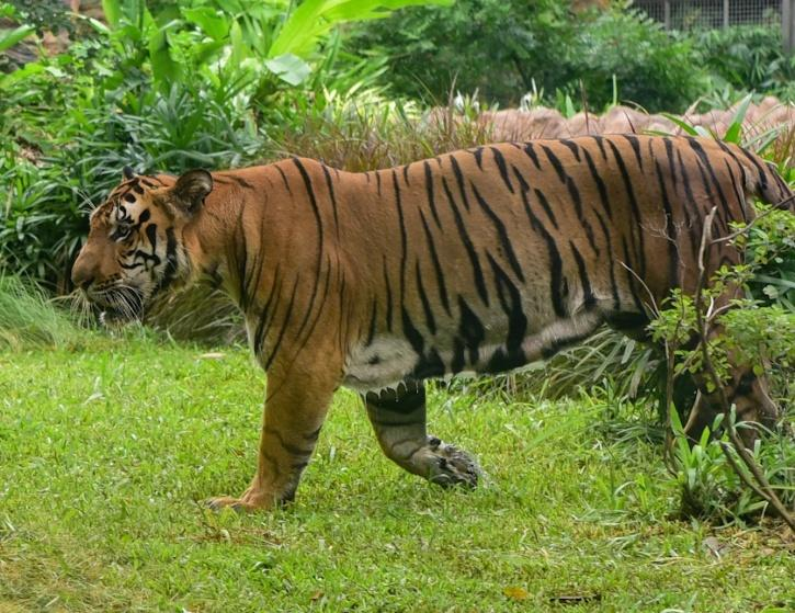 Mudumalai Tiger