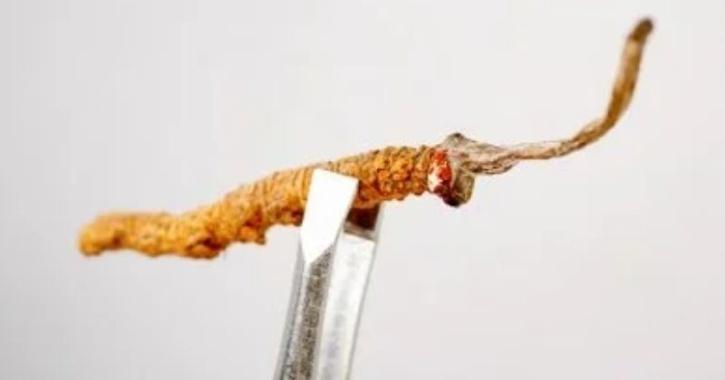 caterpillar fungus