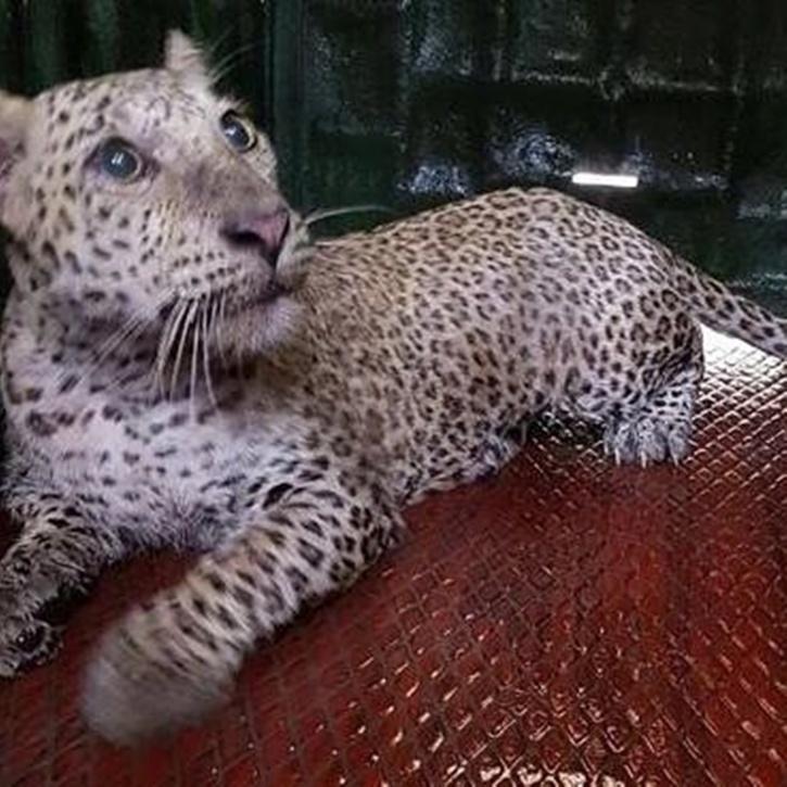 Aarey leopard