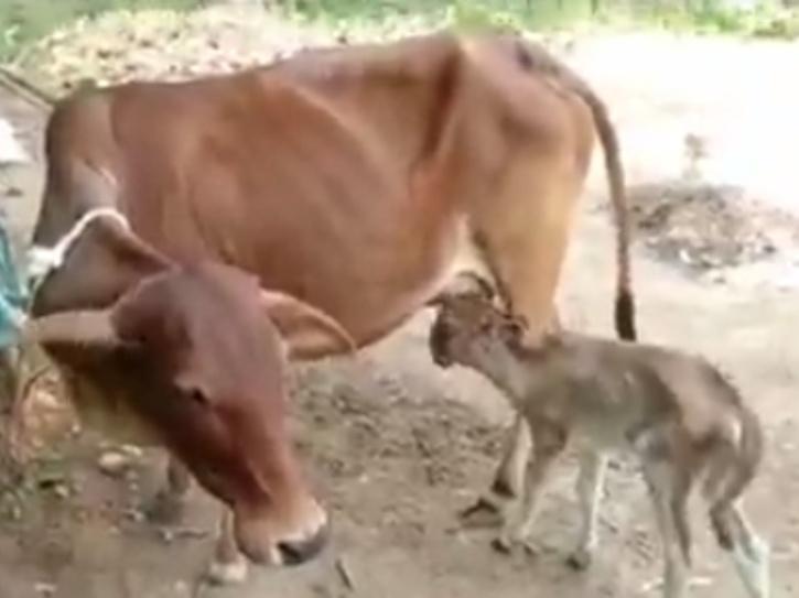 calf-two-heads
