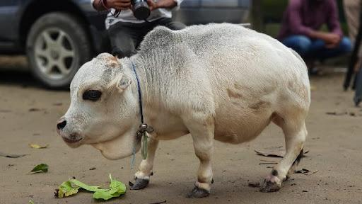 cow-short