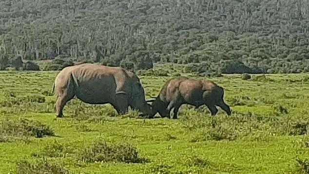 Rhino launches buffalo into air during head on clash