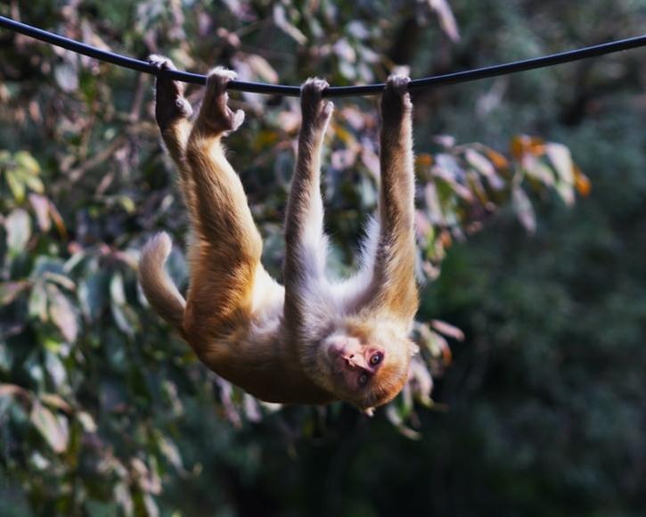 monkey-climbing