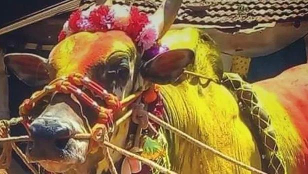 rakshasa-bull