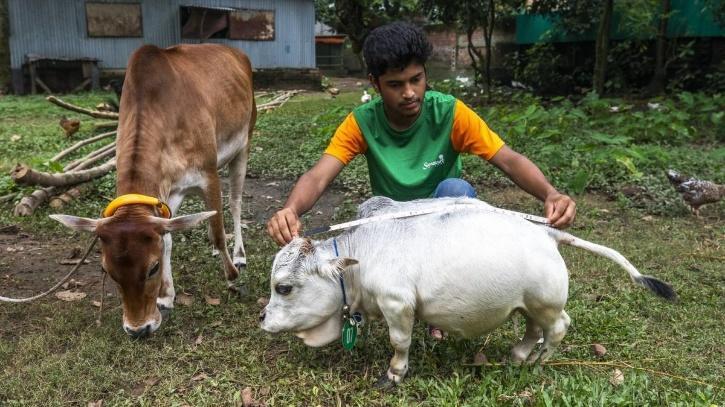 shortest-cow